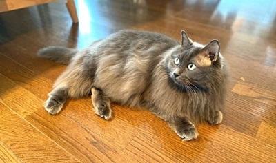 mofuwa使用後の猫