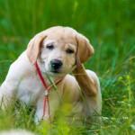 愛犬についてしまうと厄介なノミ・マダニ。どこでつくの?どんな症状なの?