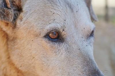 ノミのついた犬