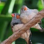 初心者でも飼いやすい鳥「キンカチョウ」の特徴と、おすすめ飼育グッズ