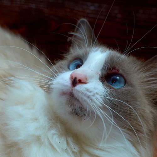 猫ニキビのある猫