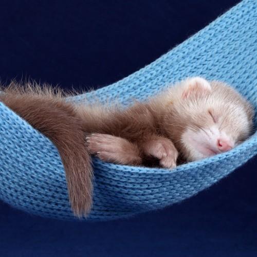 ハンモックで眠る赤ちゃんフェレット