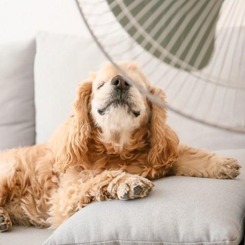 扇風機にあたる犬