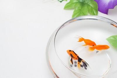 金魚鉢と朝顔