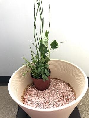 睡蓮鉢に寄せ植えを配置