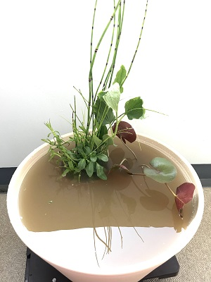 睡蓮鉢に水をたっぷり注ぐ