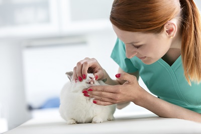 獣医師に歯をチェックしてもらうウサギ