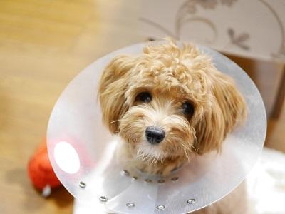 エリザベスカラーをつけて療養中の子犬【マルプー・トイプードル】