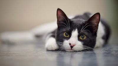 日本猫の柄・模様 2色(バイカラー)