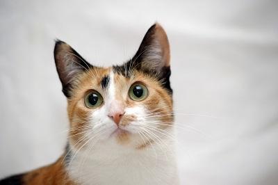日本猫の柄・模様 3色(キャリコ)