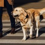 パピーウォーカーとは?盲導犬の育ての親になるための条件、役割、別れまで