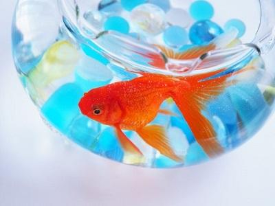 水の中の金魚