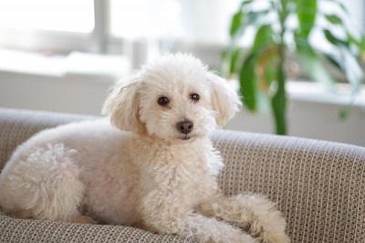 ソファー上の犬