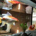 金魚を飼うのにオススメの水槽9選☆機能性?それともデザイン性で選ぶ?