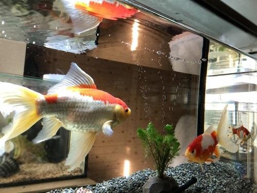 水槽の金魚