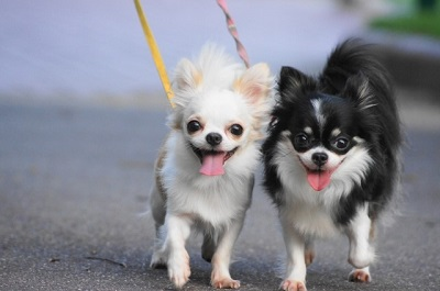 小型犬の散歩