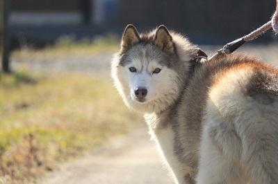 大型犬の散歩