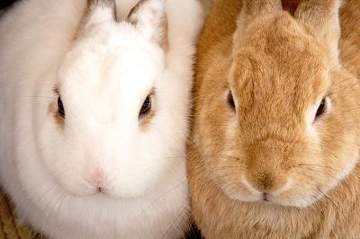 ぴったりと寄り添う二匹二羽のもふもふとした白と茶色のウサギ兎のクローズアップ写真