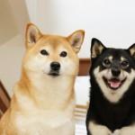 日本犬の種類と特徴、魅力について