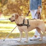 盲導犬に向いている犬種や、生まれてから引退まで盲導犬の一生について
