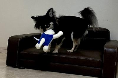ソファにおもちゃを運ぶチワワ