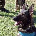 警察犬に向いている犬種や、生まれてから引退まで警察犬の一生について