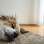愛犬と安全に快適に暮らすための部屋づくりのポイント5つ☆