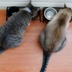 猫のごはん横取り防止策!ごはんタイムの隔離の必要性とその方法