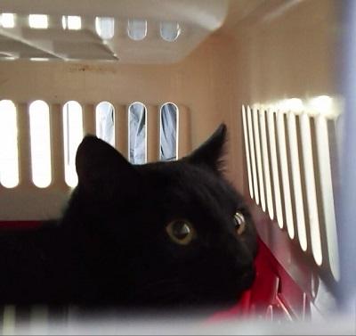 キャリーの中の黒猫ネロ君