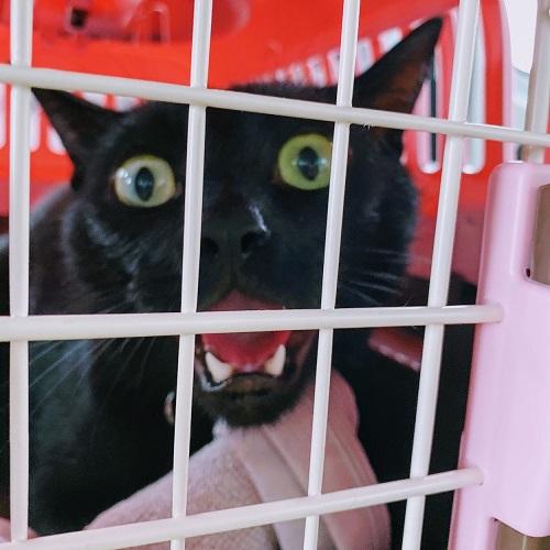 急性ストレスの黒猫