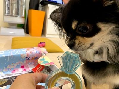 おもちゃに興味津々の犬