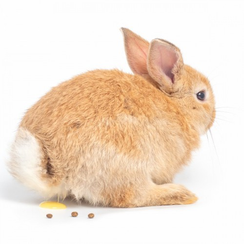 ウンチとおしっこをしているウサギ