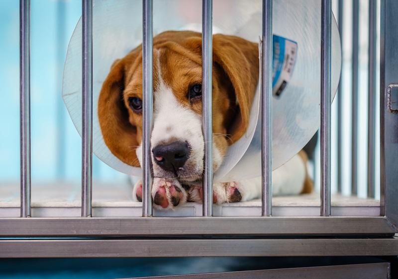 手術後の犬