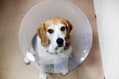 エリザベスカラーをつけたビーグル犬