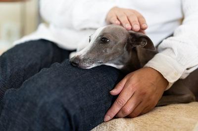 飼い主と一緒にソファに座るイタリアングレイハウンド犬
