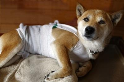 病院から帰ってきた柴犬
