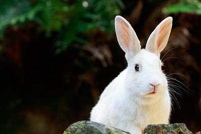 野生のウサギ -うさぎの楽園 大久野島-