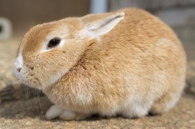 丸くなるウサギ