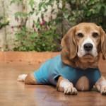 手術を控える愛犬に!犬用の「術後服」についてご紹介します♪