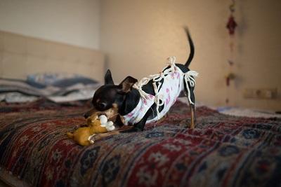 術後服を着る犬