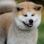 秋田犬ってどんな犬?知っておきたい秋田犬の基本情報