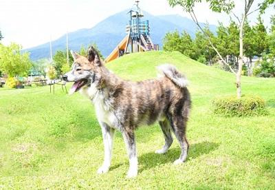 虎毛の秋田犬