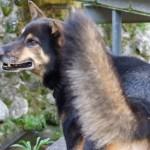 紀州犬ってどんな犬?知っておきたい紀州犬の基本情報