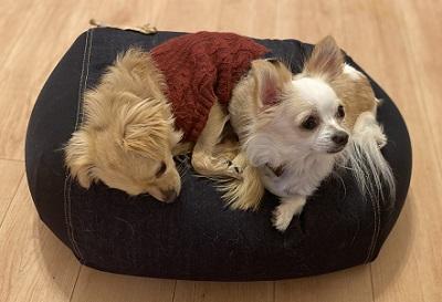先住犬と新しい家に慣れてきた保護犬チワワ
