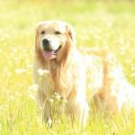 ゴールデンレトリバーってどんな犬?知っておきたいゴールデンレトリバーの基本情報