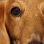 犬の白内障の治療法は?予防法や進行を穏やかにする方法ってあるの?