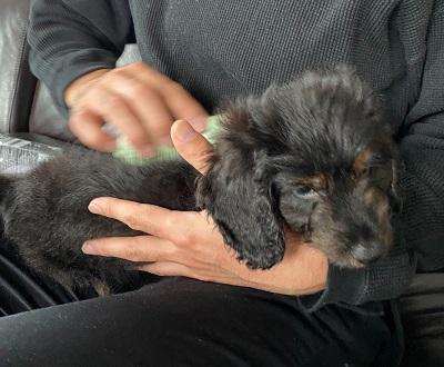 子犬とペットティーザーパピー