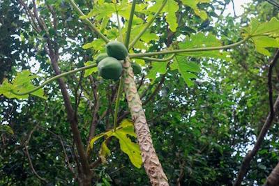 沖縄、大石林山~パパイヤの木