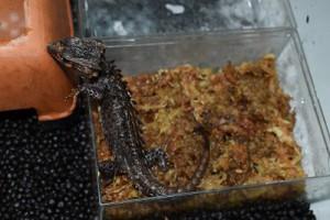 アカメカブトトカゲの飼育環境