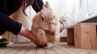 抱っこされたうさぎ(正面)